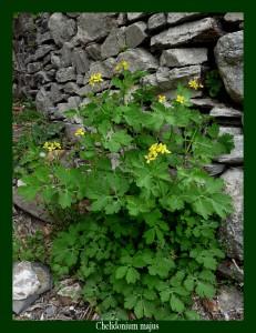 """Chelidonium majus Papaveraceae Chélidoine Photo: D.M. Le """"latex"""" lutte contre les verrues et des médicaments l'utilisent pour combattre les affections hépatiques"""