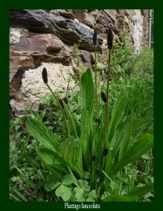 Plantago lanceolata Plantaginaceae Plantain lancéolé Photo: D.M. Soulage les piqûres, antibactérien et anti-inflammatoire