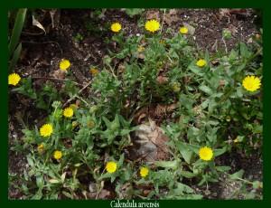 Calendula arvensis Asteraceae Souci des champs Photo: D.M. Anti-inflammatoire utile contre les contusions, ulcères et affections cutanées. .