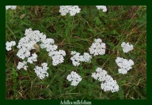 Achillea millefolium Asteraceae Achillée millefeuille Photo:D.M. Anti-inflammatoire elle stimule aussi la digestion