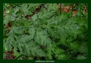 Anthriscus sylvestris Apiaceae Cerfeuil des bois Photo: D.M.