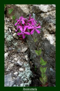 Atocion armeria Caryophyllaceae Silène armeria Photo: D.M.