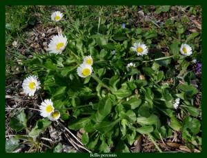 Bellis perennis Asteraceae Pâquerette Photo: D.M. Dépurative, sudorifique, antitussive