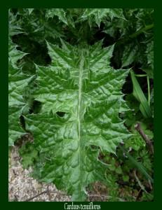Carduus tenuiflorus Asteraceae Chardon à capitules grêles Photo: D.M.