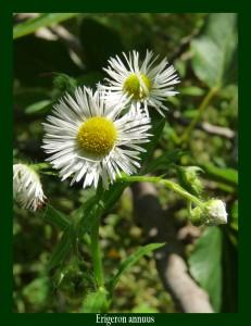 Erigeron annuus Asteraceae Vergerette annuelle Photo: D.M.