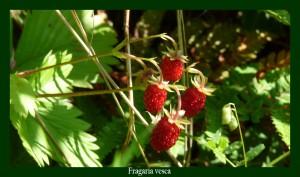 Fragaria vesca Rosaceae Fraisier des bois Photo:D.M.