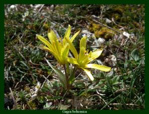 Gagea bohemica Liliaceae Gagée de Bohème Photo: F.L.