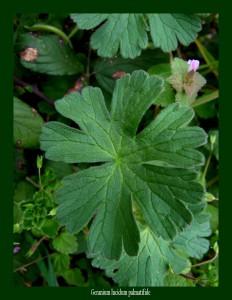 Geranium lucidum Geraniaceae Géranium luisant Photo: D.M.