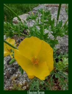 Glaucium flavum Papaveraceae Glaucienne jaune Photo: D.M.