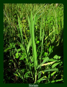 Holcus lanatus Poaceae Houlque laineuse Photo: F.L.