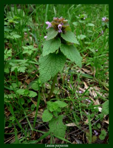 Lamium purpureum Lamiaceae Lamier pourpre Photo: D.M.