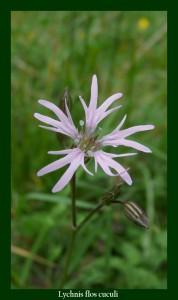Genre et espèce: Lychnis flos-cuculi Famille : Caryophyllaceae Nom français : Lychnis Fleur-de-coucou Photo: D.M.