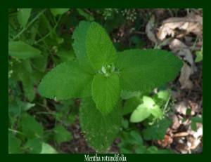 Mentha rotundifolia Lamiaceae Menthe à feuilles rondes Photo: D.M.