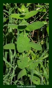 Mentha rotundifolia Lamiaceae Menthe à feuilles rondes Photo:D.M.