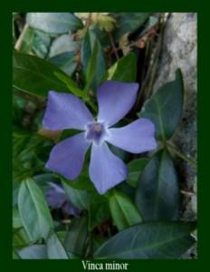 """Vinca minor Apocynaceae Petite Pervenche Photo: D.M. La """"vincamine"""" est un vasodilatateur utilisé contre l'hypertension et les troubles de la sénescence."""