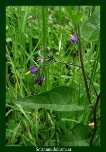 Solanum dulcamara Solanaceae Morelle douce-amère Photo: D.M. Sa tige était utilisée pour activer la transpiration et ses vertus diurétiques et dépuratives l