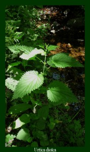 Urtica dioica Urticaceae Grande Ortie Photo: D.M. Plante diurétique utilisée contre les inflammations urinaires, à éviter en cas d'affections cardiaques et rénales