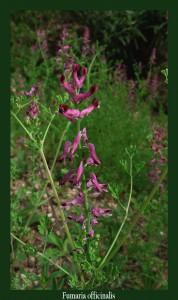 Fumaria officinalis Papaveraceae Fumeterre officinale Photo: D.M. Régularise les fonctions biliaires et hépatiques