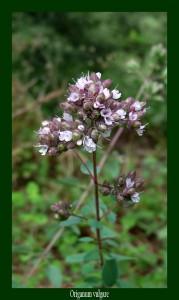 Origanum vulgare Lamiacieae Marjolaine sauvage Photo: D.M. Assainit les voies respiratoires et stimule l'appétit.