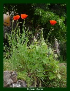 Papaver rhoeas Papaveraceae Coquelicot Photo: D.M. Soignait les troubles du sommeil Soignait les troubles du sommeil et de la toux, colore les tisanes
