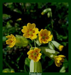 Primula elatior Primulaceae Primevère des bois Photo: F.L.