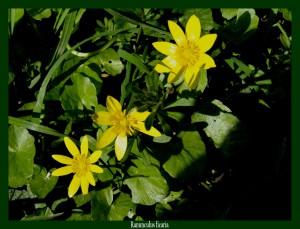 Ranunculus ficaria Ranunculaceae Renoncule ficaire Photo: F.L.