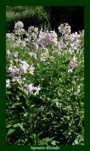 Saponaria officinalis Caryophyllaceae Saponaire officinale Photo: D.M. Remède contre les maladies de peau et les rhumatismes