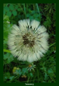 Taraxacum officinalis Asteraceae Pissenlit Photo : D.M.