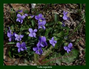 Viola sylvestris Violaceae Violette des bois Photo: D.M.