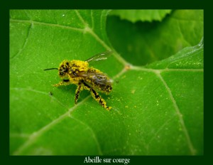 Abeille sur feuille de Courge Photo : M.L.