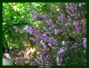 Calluna vulgaris Ericaceae Callune Photo: F.L.