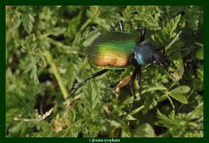 Calosoma sycophanta Calosome sycophante Photo: G. G.