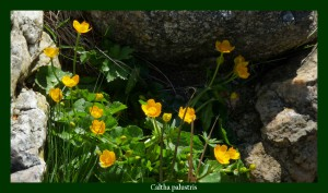 Caltha palustris Ranunculaceae Populage des marais Photo: D.M.