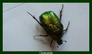 Cetonia aurata Cétoine dorée Photo: D.M.