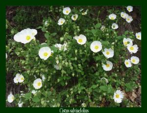 Cistus salviaefolius Cistaceae Ciste à feuilles de sauge Photo: D.M.