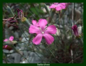 Dianthus sylvestris Caryophyllaceae Œillet des rochers Photo: F.L.