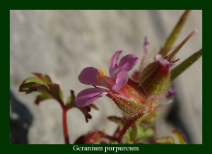 Geranium purpureum Geraniaceae Géranium pourpre Photo: F.L.