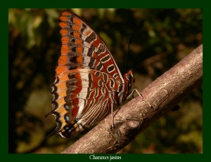 Charaxes jasius Jason Photo: F.L.