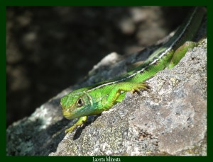 Lacerta bilineata Lézard vert Photo: F.L.