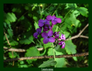 Lunaria Annua Brassicaceae Monnaie-du-Pape Photo: F.L.