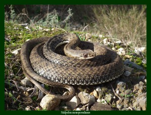 Malpolon monspessulanus Couleuvre de Montpellier Photo: F.L. Consomme serpents et rongeurs