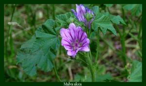 Malva sylvestris Malvaceae Grande Mauve Photo: D.M. Anti-inflammatoire utile contre les contusions, ulcères et affections cutanées