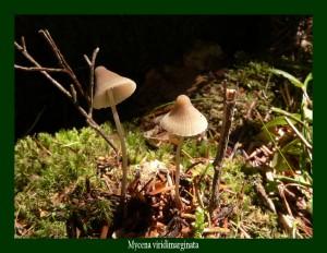 Mycena viridimarginata Mycène à lamelles à arête verte Photo: F.L .