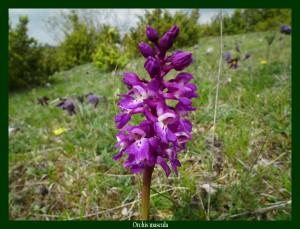 Orchis mascula Orchidaceae Orchis mâle Photo: F.L.