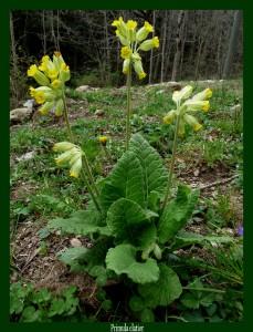 Primula elatior Primulaceae Primevère Photo: D.M.