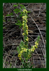 Verbascum boherhavii Scrophulariaceae Molène de Boerhaave Bouillon blanc Photo: D.M.