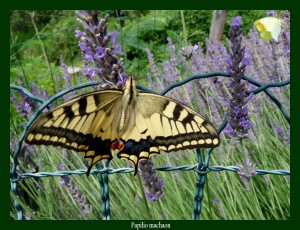 Papilio machaon Grand Porte-Queue Photo: D.M.