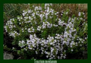 Teucrium montanum Lamiaceae Germandrée des montagnes Photo: D.M.