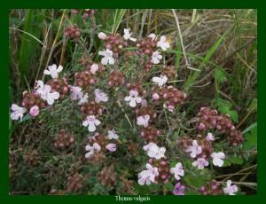 Thymus vulgaris Lamiaceae Farigoule Photo: F.L.