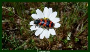 Trichodes alvearius Clairon La larve de ce Coléoptère dévore celles des abeilles maçonnes Photo: D.M.